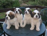 Schnoodle Puppies for sale in Indianapolis, IN, USA. price: NA