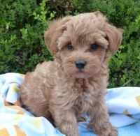 Schnoodle Puppies for sale in Milwaukee, WI, USA. price: NA