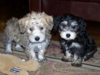 Schnoodle Puppies for sale in Madison, MS 39110, USA. price: NA
