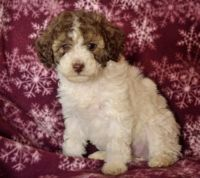 Schnoodle Puppies for sale in Portland, OR, USA. price: NA