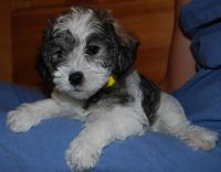 Schnoodle Puppies for sale in St Pete Beach, FL, USA. price: NA