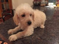Schnoodle Puppies for sale in Philadelphia, PA, USA. price: NA