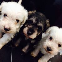 Schnoodle Puppies for sale in Los Angeles, CA 90005, USA. price: NA