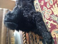 Schnoodle Puppies for sale in Sunbury, OH 43074, USA. price: NA