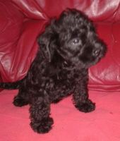 Schnoodle Puppies for sale in Houston, TX, USA. price: NA
