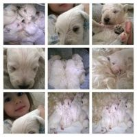 Schnoodle Puppies for sale in Terminal Dr, Nashville, TN 37214, USA. price: NA