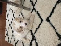 Schnoodle Puppies for sale in Merrillville, IN, USA. price: NA