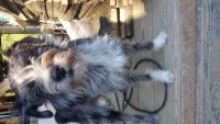Schnoodle Puppies for sale in Cannel City, KY 41408, USA. price: NA