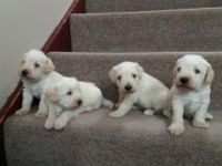 Schnoodle Puppies for sale in Boston, MA 02114, USA. price: NA