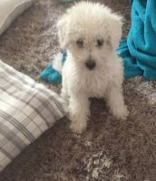 Schnoodle Puppies for sale in Youngsville, LA, USA. price: NA