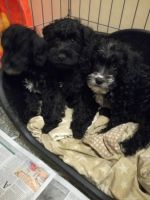 Schnoodle Puppies for sale in OR-99W, McMinnville, OR 97128, USA. price: NA