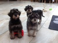 Schnoodle Puppies for sale in Delaware, OH 43015, USA. price: NA
