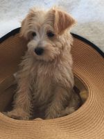 Schnoodle Puppies for sale in Fayetteville, TN 37334, USA. price: NA