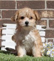 Schnoodle Puppies for sale in Houston, TX 77012, USA. price: NA