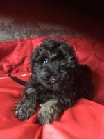 Schnoodle Puppies for sale in Atlanta, GA, USA. price: NA