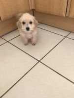 Schnoodle Puppies for sale in Cambridge, MA, USA. price: NA