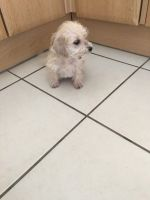 Schnoodle Puppies for sale in SC-101, Greer, SC, USA. price: NA