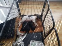 Schnoodle Puppies for sale in New York, NY, USA. price: NA