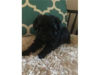 Schnoodle Puppies for sale in Benton, IL 62812, USA. price: NA