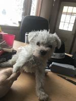 Schnoodle Puppies for sale in Boyne City, MI 49712, USA. price: NA
