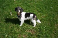 Schnoodle Puppies for sale in Ravenna, OH 44266, USA. price: NA