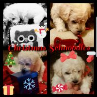 Schnoodle Puppies for sale in Kansas City, MO, USA. price: NA