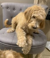 Schnoodle Puppies for sale in Pepper Pike, OH 44124, USA. price: NA