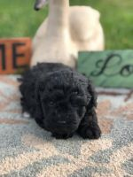 Schnoodle Puppies for sale in Norwood, NC 28128, USA. price: NA