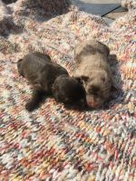 Schnoodle Puppies for sale in Charlotte, NC, USA. price: NA