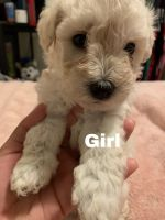 Schnoodle Puppies for sale in Commerce City, CO, USA. price: NA
