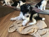 Schnoodle Puppies for sale in Columbia, MO, USA. price: NA