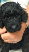 Schnoodle Puppies for sale in Brainerd, MN 56401, USA. price: NA
