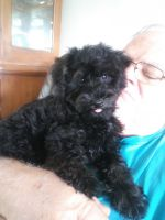 Schnoodle Puppies for sale in Clermont, FL, USA. price: NA