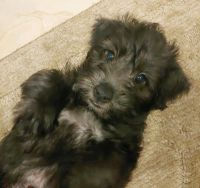 Schnoodle Puppies for sale in Orlando, FL, USA. price: NA