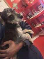 Schnoodle Puppies for sale in South Side, Chicago, IL, USA. price: NA