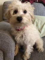 Schnoodle Puppies for sale in Wilmington, DE, USA. price: NA