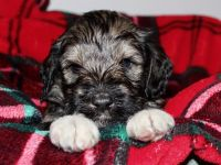 Schnoodle Puppies for sale in Jonesville, MI 49250, USA. price: NA