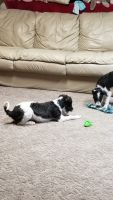 Schnoodle Puppies for sale in Allen Park, MI 48101, USA. price: NA