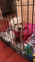 Schnoodle Puppies for sale in Winchester, VA 22601, USA. price: NA