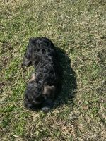 Schnoodle Puppies for sale in Fort Worth, TX, USA. price: NA