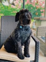 Schnoodle Puppies for sale in Galt, CA 95632, USA. price: NA