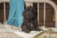 Schnoodle Puppies for sale in Wolf Lake, IL 62998, USA. price: NA