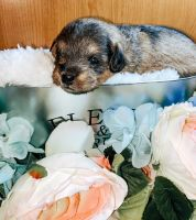Schnoodle Puppies for sale in Aurora, CO, USA. price: NA