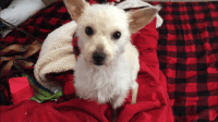 Schnoodle Puppies for sale in Athena, OR 97813, USA. price: NA