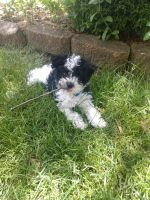 Schnoodle Puppies for sale in Madison Heights, MI 48071, USA. price: NA