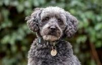 Schnoodle Puppies for sale in Chicago Ridge, IL, USA. price: NA