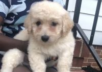 Schnoodle Puppies for sale in Virginia Beach, VA, USA. price: NA
