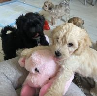 Schnoodle Puppies for sale in Bridgeport, CT, USA. price: NA