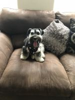 Schnoodle Puppies for sale in NJ-41, Deptford Township, NJ, USA. price: NA