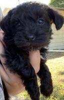 Schnoodle Puppies for sale in Sioux Falls, SD, USA. price: NA